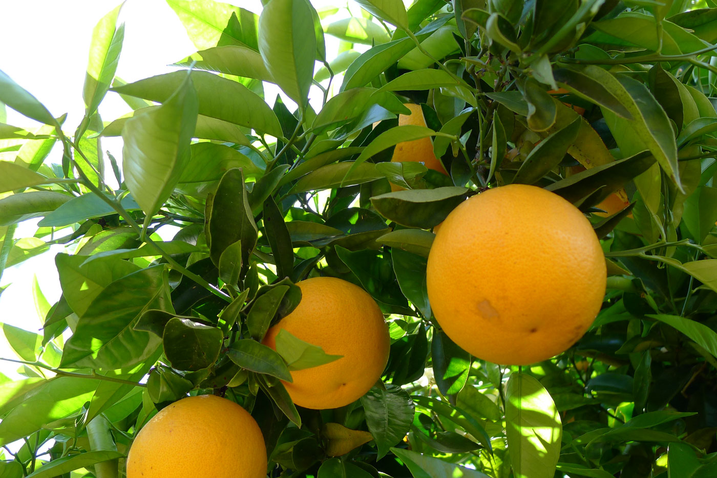 ripe oranges in the tree
