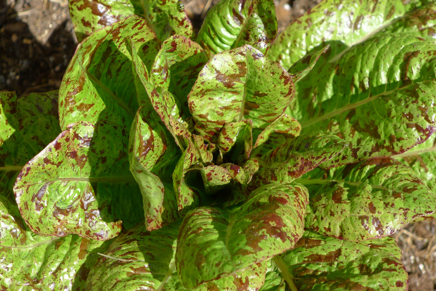 red freckles lettuce